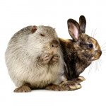 Кролики, нутрии